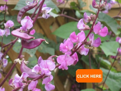Purple Podded Asian Heirloom Hyacinth Bean